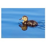 Common Pochard (Aythya ferina) chick swimming, De