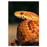 Cornsnake (Elaphe guttata), native to southeastern