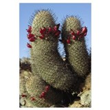 Fishhook Cactus (Mammillaria sp) blooming, Sea of