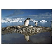 Gentoo Penguin (Pygoscelis papua) parent on nest w