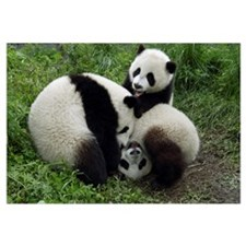 Giant Panda (Ailuropoda melanoleuca) three young P