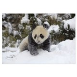 Giant Panda cub playing in the snow, Wolong Nature
