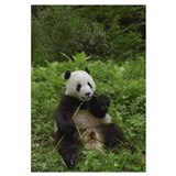 Giant Panda eating bamboo, Wolong Reserve, Sichuan