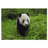 Giant Panda standing in vegetation, Wolong Reserve