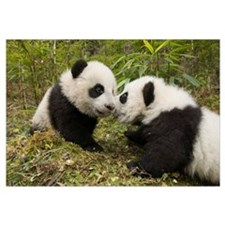 Giant Panda two cubs touching noses, Wolong Nature