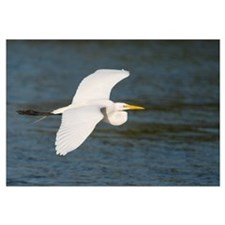 Great Egret (Ardea alba) flying, Fort Myers Beach,