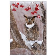 Great Horned Owl (Bubo virginianus) in winter, How