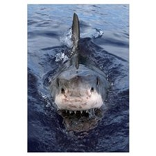 Great White Shark (Carcharodon carcharias), Cape P