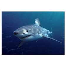 Great White Shark (Carcharodon carcharias), Neptun