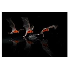 Greater Bulldog Bat (Noctilio leporinus) fishing,