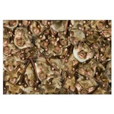 Greater Mouse-eared Bat (Myotis myotis) colony roo