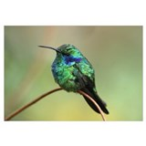 Green Violet-ear (Colibri thalassinus) hummingbird