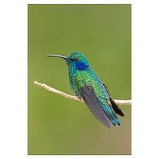 Green Violet-ear (Colibri thalassinus) hummingbird