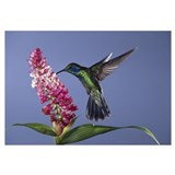 Green Violet-ear (Colibri thalassinus), cloud fore