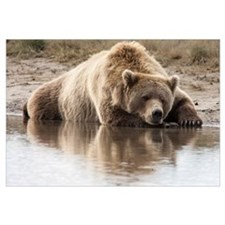 Grizzly Bear (Ursus arctos horribilis) sleeping on