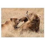 Grizzly Bear mother and cub playing, Katmai Nation