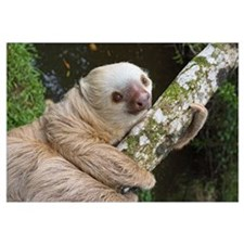 Hoffmann's Two-toed Sloth (Choloepus hoffmanni), C