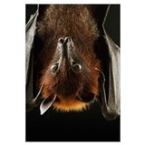Large Flying Fox (Pteropus vampyrus) roosting, Kuc