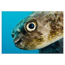 Long-spine Porcupinefish (Diodon holocanthus), Bon