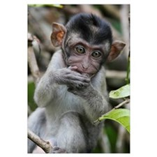 Long-tailed Macaque (Macaca fascicularis) baby, Sa