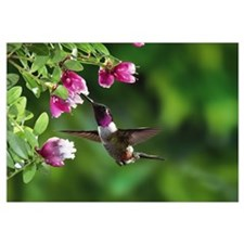 Magenta-throated Woodstar hummingbird feeding on e