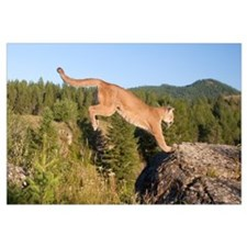 Mountain Lion (Puma concolor) jumping, Montana.