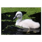 Mute Swan (Cygnus olor) chick swimming, South Holl