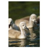 Mute Swan (Cygnus olor) cygnets swimming in pond,