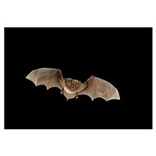 Myotis (Myotis austroriparius) bat flying, Big Thi