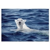 Polar Bear (Ursus maritimus) swimming, Baffin Isla
