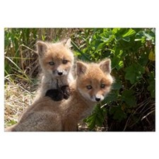 Red Fox (Vulpes vulpes) kits playing, Katmai Natio