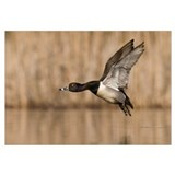 Ring-necked Duck (Aythya collaris) male flying, Is