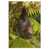 Rodrigues Flying Fox (Pteropus rodricensis) roosti
