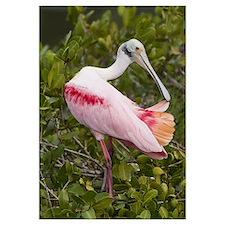 Roseate Spoonbill (Ajaja ajaja) preening, Florida