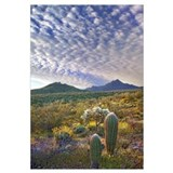 Saguaro and Teddybear Cholla amid Lupine and Calif