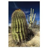 Saguaro with Fishhook Barrel Cactus, Sonoran Deser