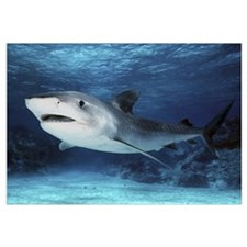 Tiger Shark (Galeocerdo cuvieri), Great Barrier Re