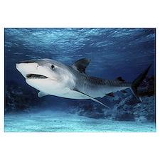 Tiger Shark (Galeocerdo cuvieri), Great Barrier Re