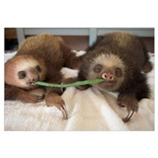 Two-toed Sloth babies sharing string bean, Aviario