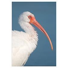 White Ibis (Eudocimus albus), Fort Myers Beach, Fl