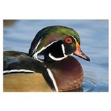 Wood Duck (Aix sponsa) male in breeding plumage, N
