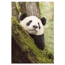 Xiang Xiang the Giant Panda, first captive raised
