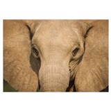 African Elephant (Loxodonta africana) female, Skel