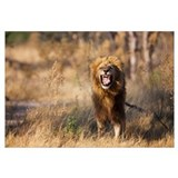 African Lion (Panthera leo) male flehming, Moremi