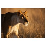 African Lion female stalking, Moremi Game Reserve,