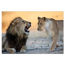 African Lion male roaring at female, Moremi Game R