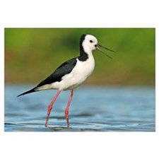 Black-winged Stilt calling, Avon Heathcote Estuary