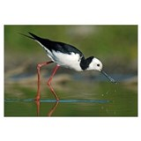 Black-winged Stilt foraging, Avon Heathcote Estuar