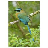 Blue-crowned Motmot (Momotus momota), Costa Rica