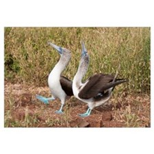 Blue-footed Booby (Sula nebouxii) pair in courtshi